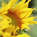 豊野向日葵3