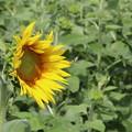 豊野向日葵1