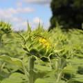 豊野向日葵2