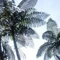 写真: 木生シダと言うそう、ヤシの木類と思ってました
