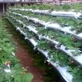 写真: ここは高地なので熱帯では採れない野菜や果物を作っています
