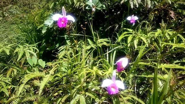 Photos: いつもの野生の蘭です、花名教えてください