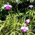 いつもの野生の蘭です、花名教えてください