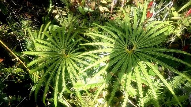 写真: 北海道にもあるクジャクシダに似ていますが、葉が細くてスマートです
