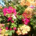 写真: ブーゲンビリア アップ、見事な色彩!