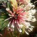 チェンコーンです、庭に咲いていました