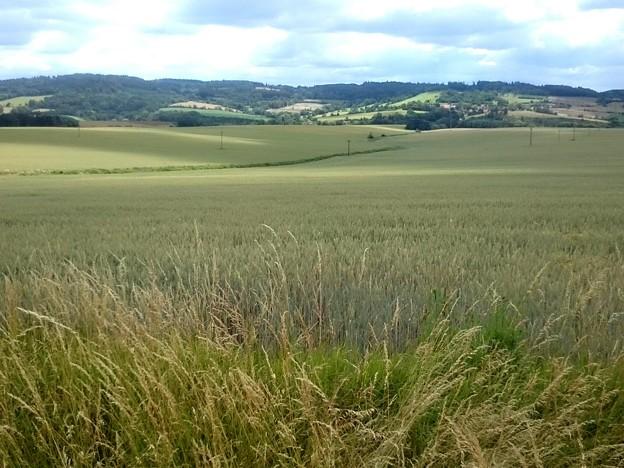 Photos: 見渡す限りの小麦畑!