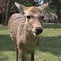 写真: 奈良の鹿
