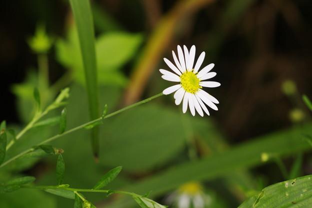 田んぼの野草
