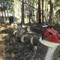 ムクの木を伐採