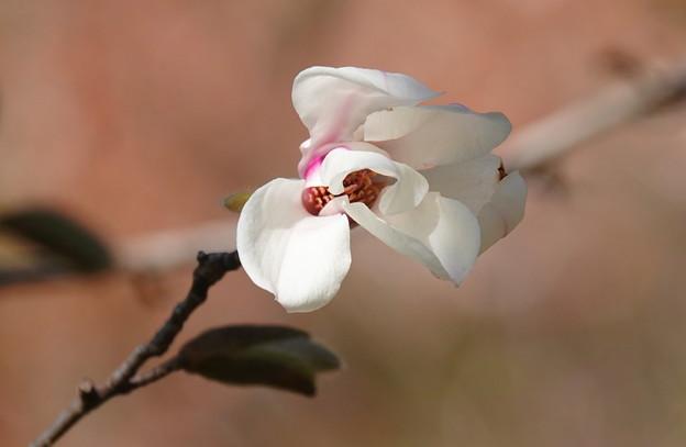 不揃いコブシの花