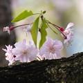 写真: 胴咲きサクラ