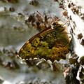 写真: キマダラヒカゲチョウ