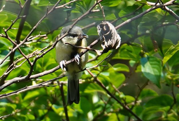 幼鳥(シジュウカラ)
