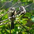 写真: 幼鳥(シジュウカラ)