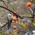 写真: 柿とオナガ