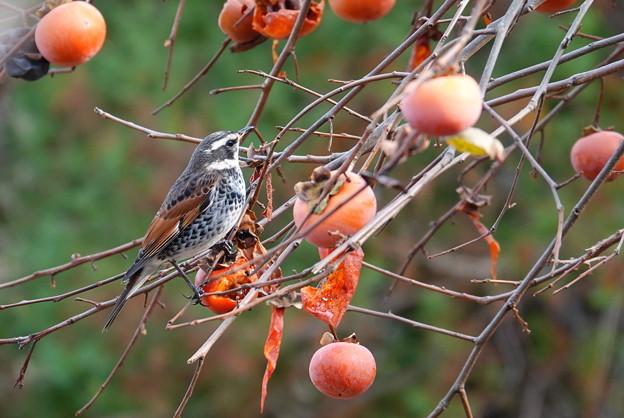 柿とツグミン