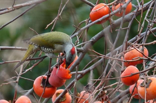 柿食うアオゲラ