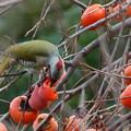 写真: 柿食うアオゲラ