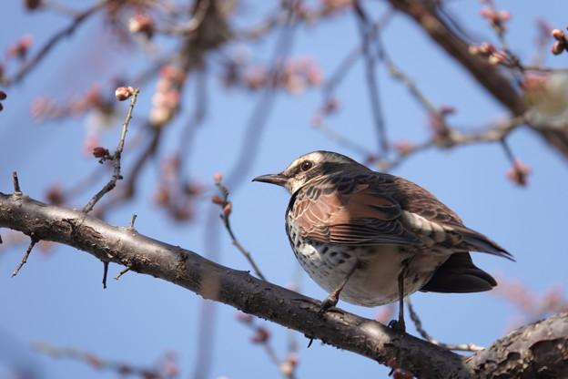 梅の木にツグミ