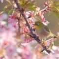 Photos: 桜メジロン