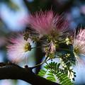 Photos: ネムの木