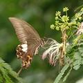 終焉ネムの木の花にモンキアゲハ