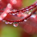 Photos: 赤の水滴