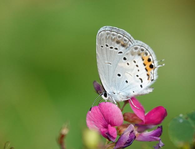 萩の花にツバメシジミ
