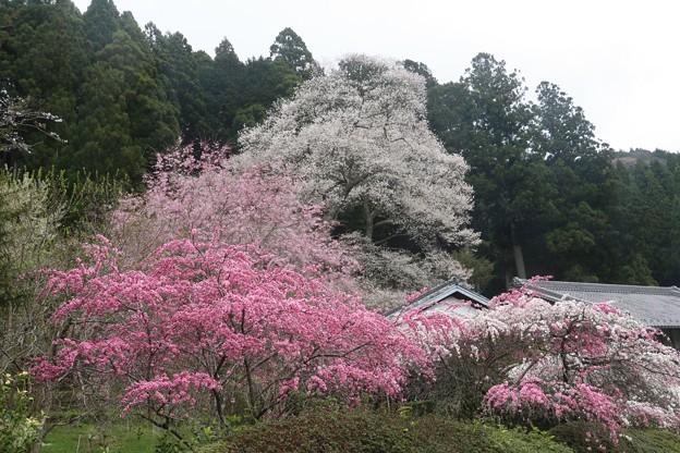 熊平の花桃とエドヒガン(江戸彼岸) バラ科