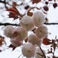 サトザクラ(里桜) バラ科 フゲンゾウ(普賢象)