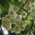 桜:ギョイコウ(御衣黄) バラ科・・?
