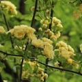 モッコウバラ(木香薔薇) バラ科