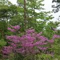 森林公園ミヤマツツジ(深山躑躅) 学名:ミツバツツジ(三つ葉躑躅)