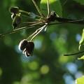 ハンショウズル(半鐘蔓) キンポウゲ科