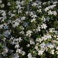 ハクチョウゲ(白丁花)  アカネ科 斑入り