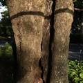 戦災で焼かれた。 プラタナス :スズカケノキ科 スズカケノキ(鈴掛の木)