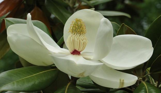 たいさんぼくが咲いて来ました~♪ タイサンボク(泰山木) モクレン科