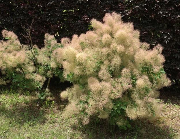 スモークツリー(煙の木) ウルシ科