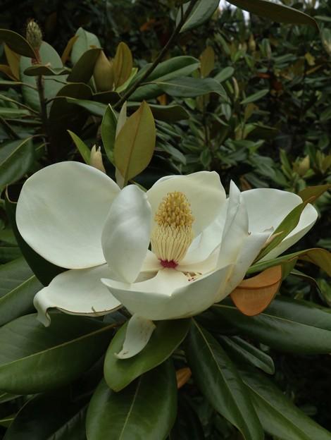 タイサンボク(泰山木) モクレン科