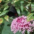 ボタンクサギ(牡丹臭木) 蝶