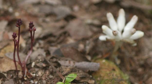 ホンゴウソウ(本郷草) ホンゴウソウ科とヒナノシャクジョウ (雛の錫杖)   ヒナノシャクジョウ科