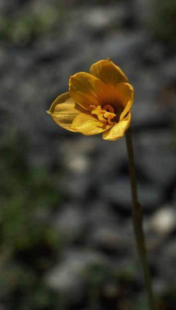 庭に咲いた。ゼフィランサス アルビエラ  :ヒガンバナ科