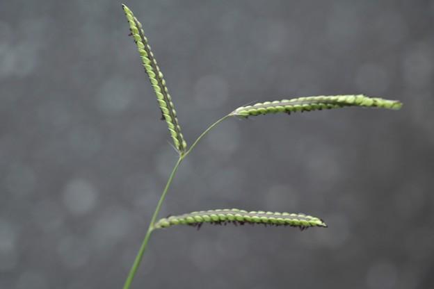 海滨雀稗植物手绘图