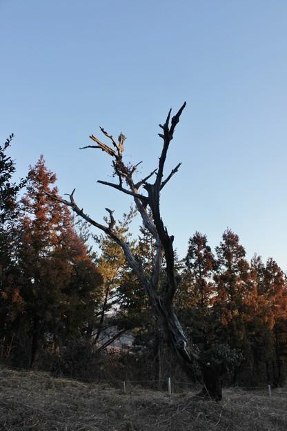 以前立っていた古木も倒れてしまいました。