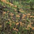 オオキツネノカミソリ(大狐の剃刀) ヒガンバナ科