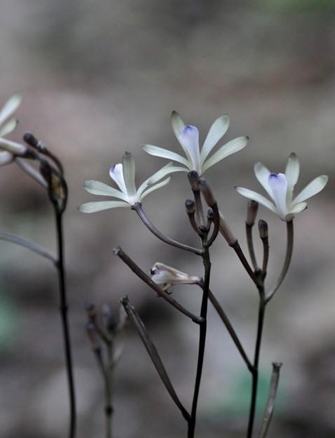 十年間も別の花をクロムヨウランとしていたムヨウランが最近「トサノムヨウラン」と分かりました。 トサノクロムヨウラン(土佐の黒無葉蘭) ラン科