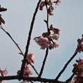 オオカンザクラ(大寒桜)バラ科