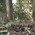 写真: セリバオウレン(芹葉黄蓮) キンポウゲ科