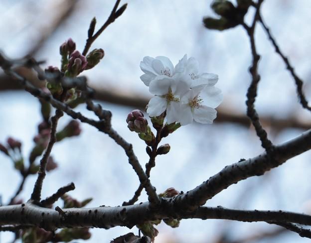 ソメイヨシノザクラ(染井吉野桜) バラ科
